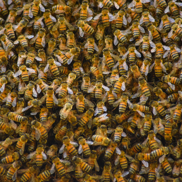 """""""Bees on a Hive"""" stock image"""