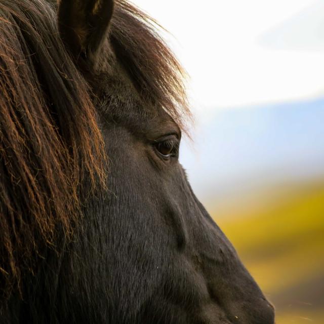 """""""Icelandic Horse Close-up"""" stock image"""