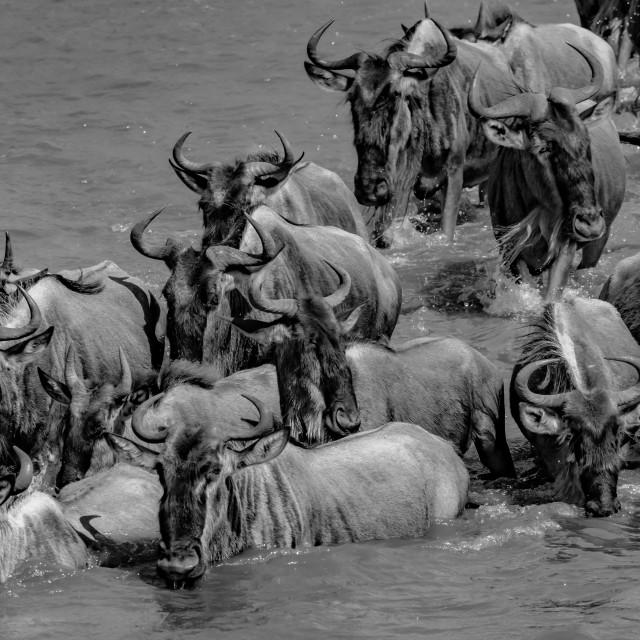 """Gnu Crossing the Mara River, Tanzania"" stock image"
