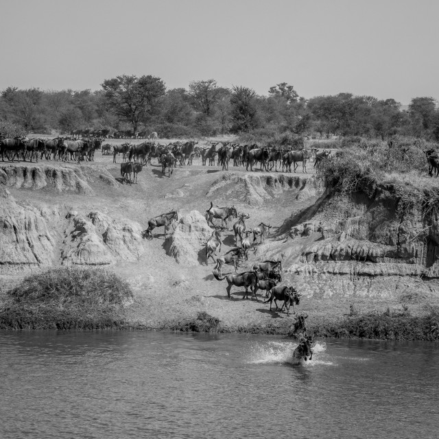 """Migration crossing - Mara river Tanzania"" stock image"