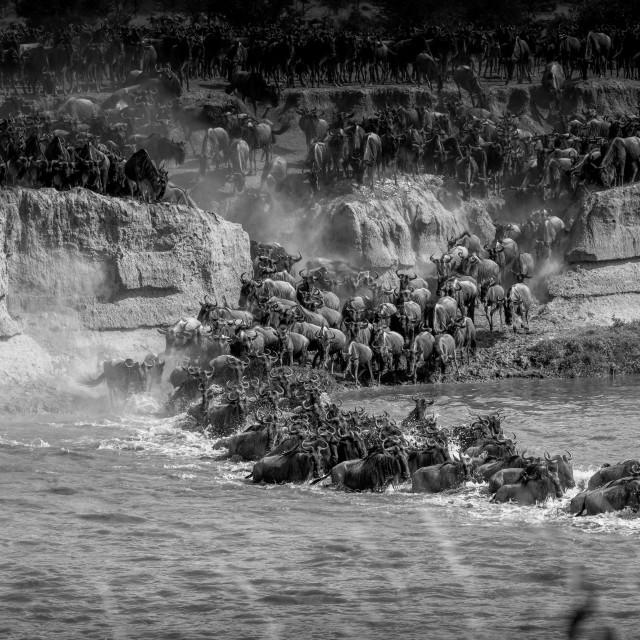 """River Crossing - Great Migration, Tanzania"" stock image"