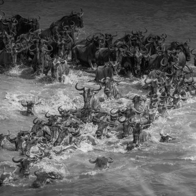 """Mara river Crossing - Tanzania"" stock image"