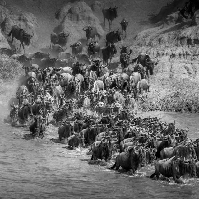 """Gnu Migration- Tanzania"" stock image"