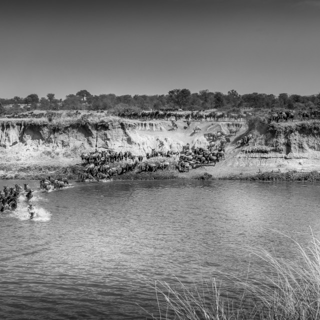 """River Crossing - Mara river, Tanzania"" stock image"