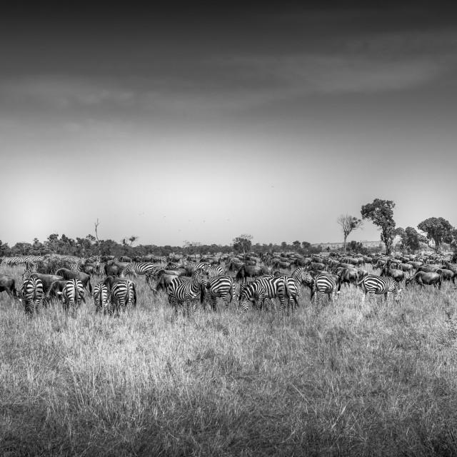 """Migration herd- Tanzania"" stock image"