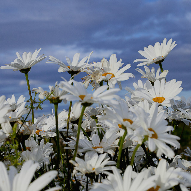 """English Wild Flowers - Ox-eye Daisies"" stock image"