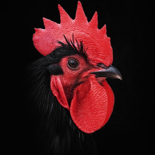"""Haan – Rooster"" stock image"