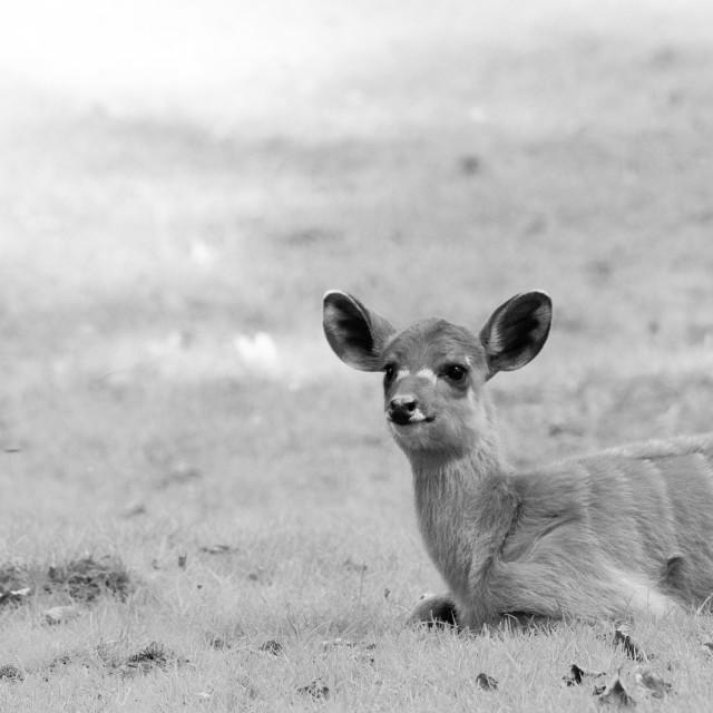 """Sitatoenga antilope"" stock image"