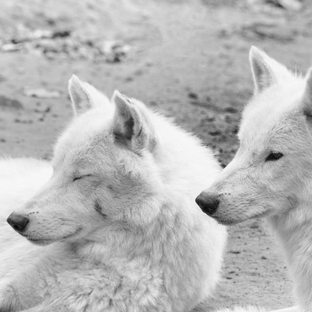 """Hudson-Bay-Wolfs"" stock image"