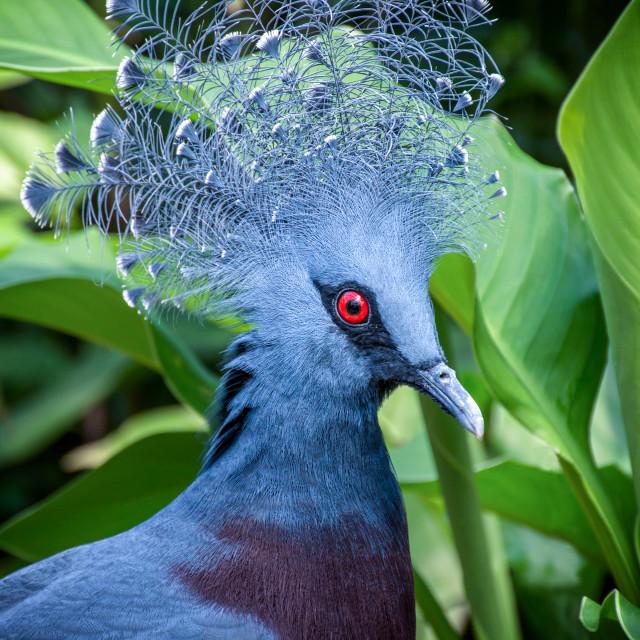 """Western crowned pigeon"" stock image"
