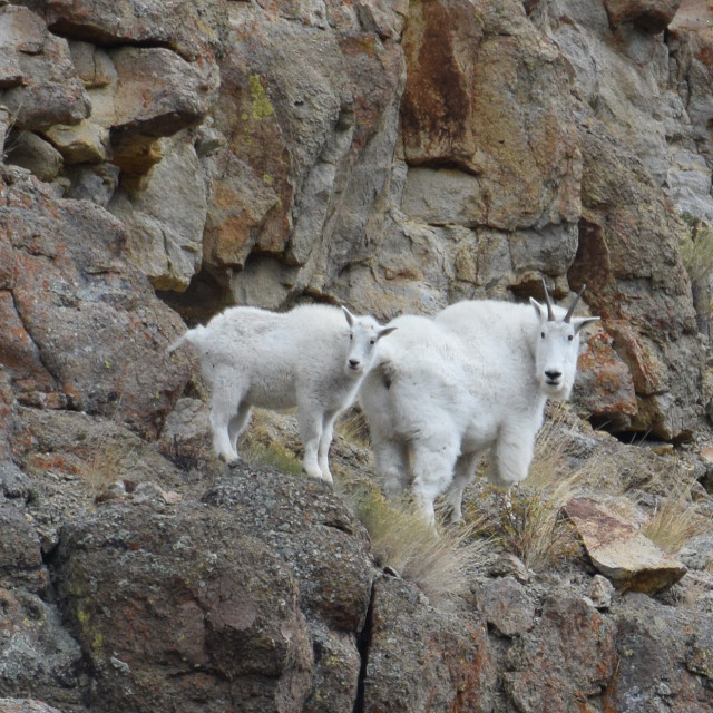 """Mountain Goats"" stock image"
