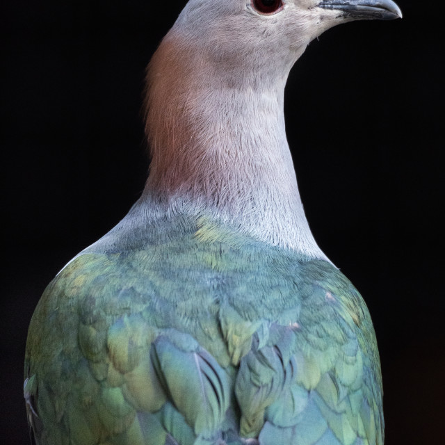 """Green imperial pigeon in the dark. Ducula aenea."" stock image"