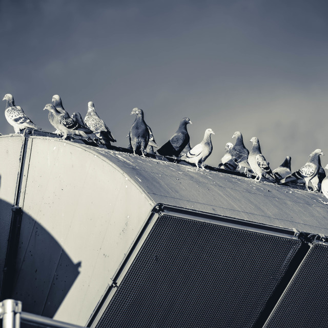 """Pigeons in Black and White. Cambridge UK."" stock image"