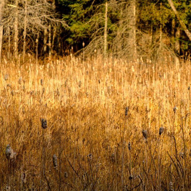 """Cattails and reeds in marshlands"" stock image"
