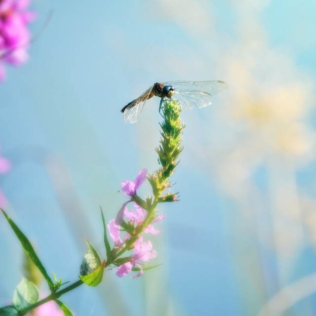 """""""The Dragonfly"""" stock image"""