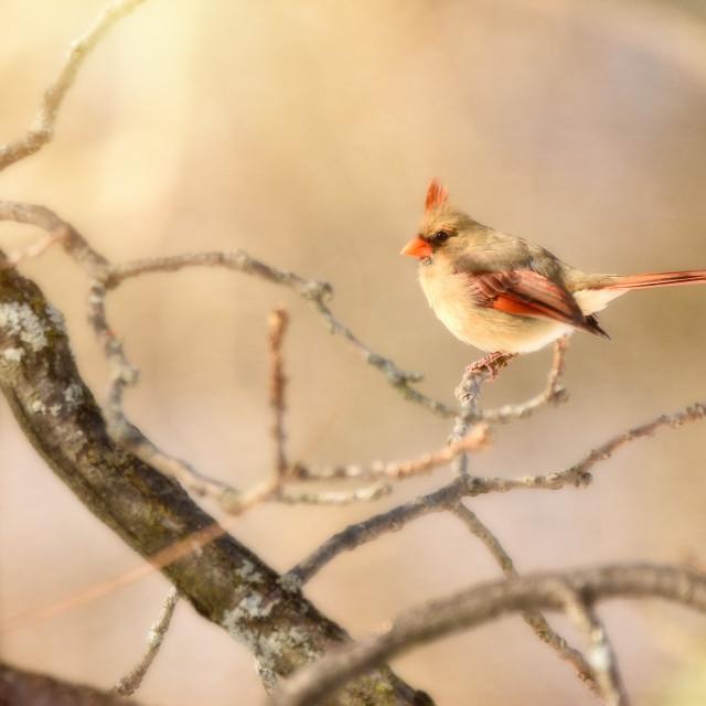 """Female Cardinal in Winter"" stock image"