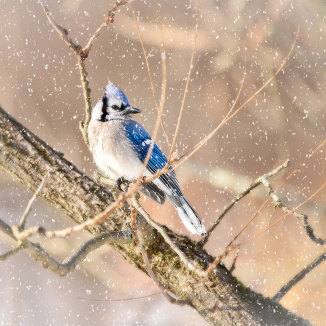 """""""BlueJay in Winter"""" stock image"""