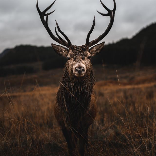 """Scottish Stag"" stock image"