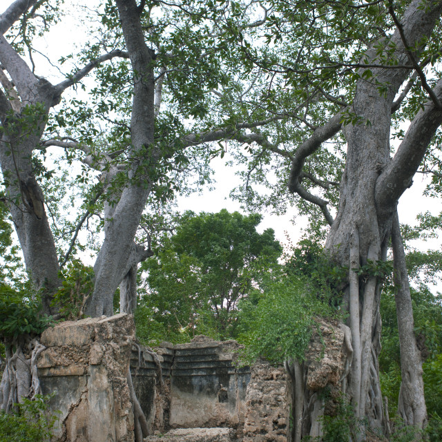 """Ruins among the trees, Lamu County, Pate Island, Kenya"" stock image"