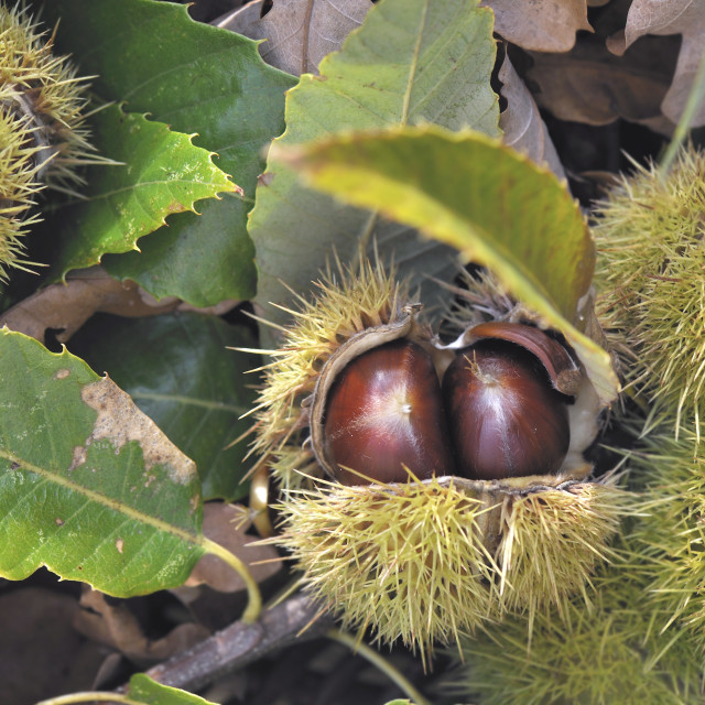 """""""close on a fresh chestnuts in its husk and falled on the ground in leaves"""" stock image"""