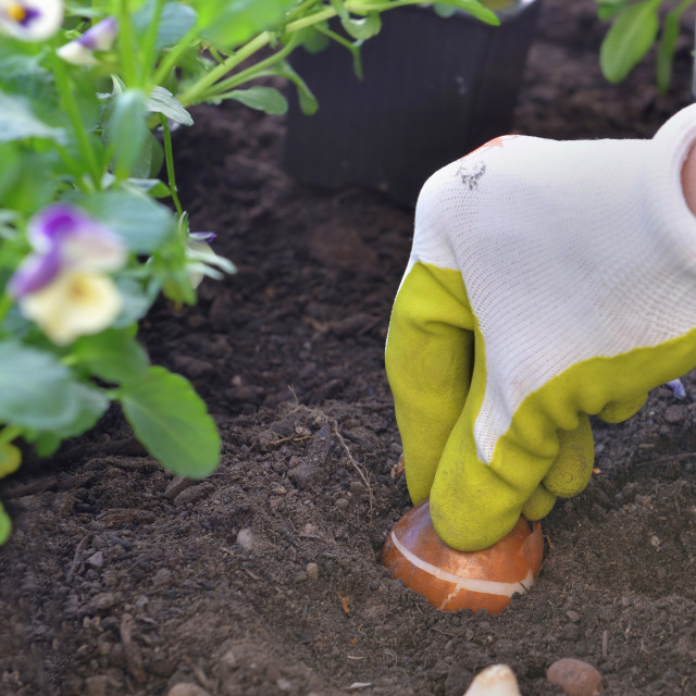 """""""close on hand of gardener holding a bulb of tulip in the soil o"""" stock image"""
