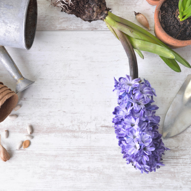 """""""top view on hyacinth blooming, shovel and flower pot with a little watering can on a white table"""" stock image"""