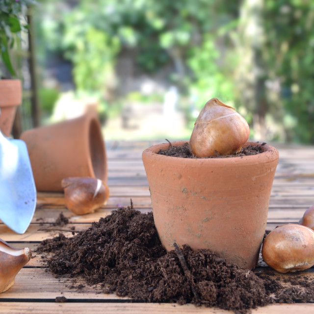 """""""bulb of flowers in a terra cotta pot among dirt on a wooden garden table"""" stock image"""