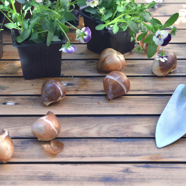 """""""bulbs of flowers on a garden table withflowers potting and shovel"""" stock image"""