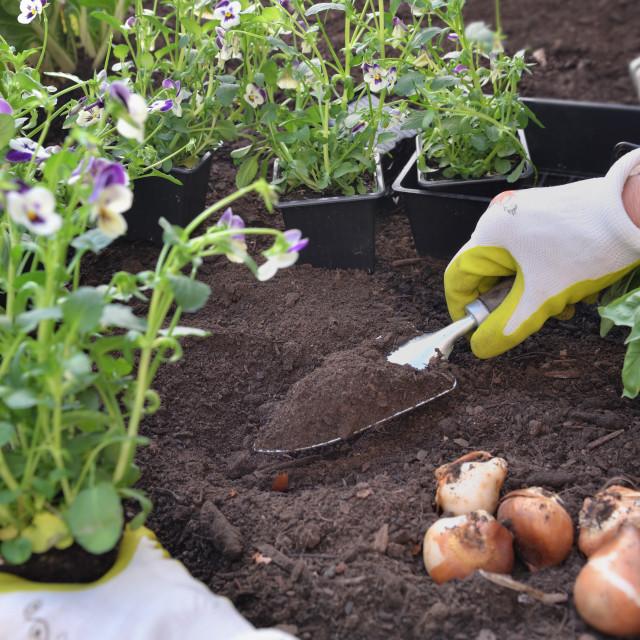 """hand of gardener planting viola flowers on the soil in the garden"" stock image"