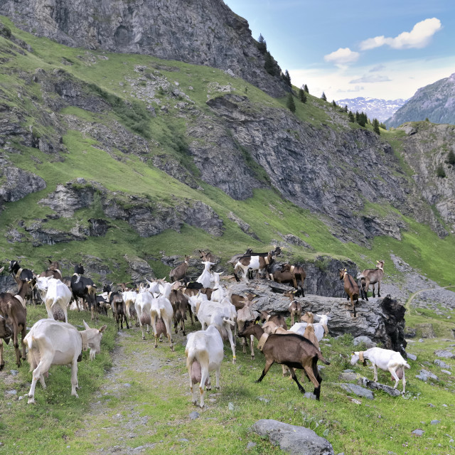 """""""livestock of alpine goats in pasture in mountain"""" stock image"""