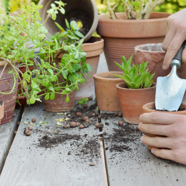 """shovel holding by gardener hands potting plant on wooden background in a garden"" stock image"