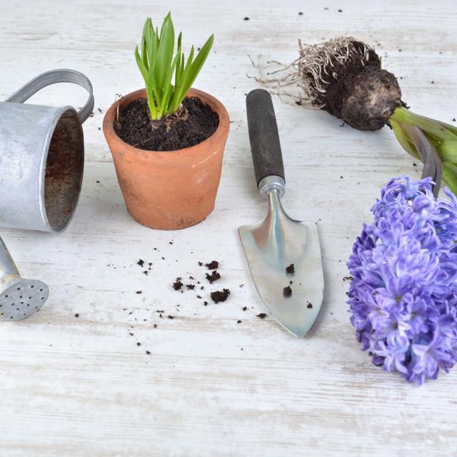 """hyacinth, seeds; flower pots an shovel arranged on white background"" stock image"