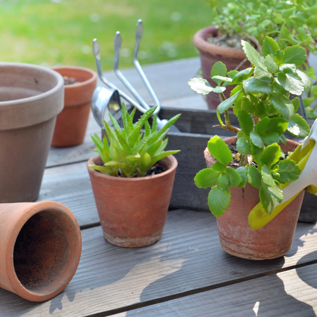 """""""hand of gardener potting succulent plant on a table in garden"""" stock image"""
