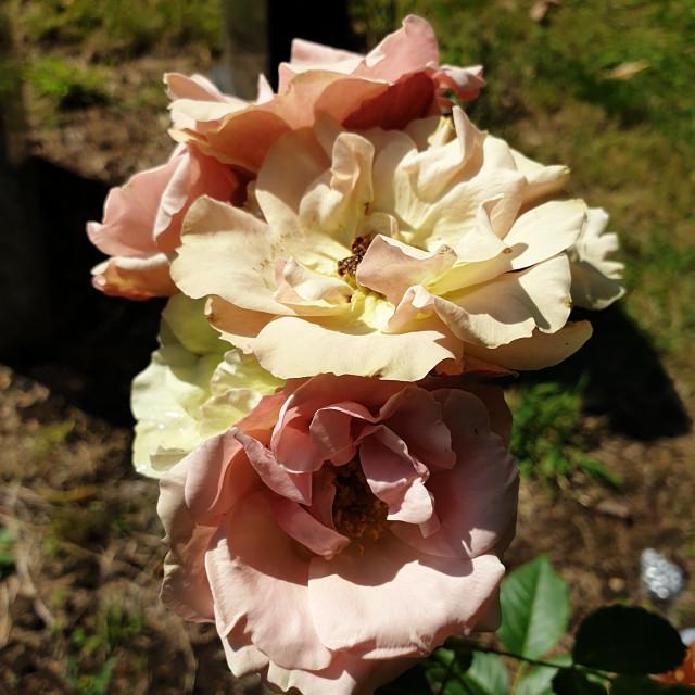 """Greensleeves Rose"" stock image"