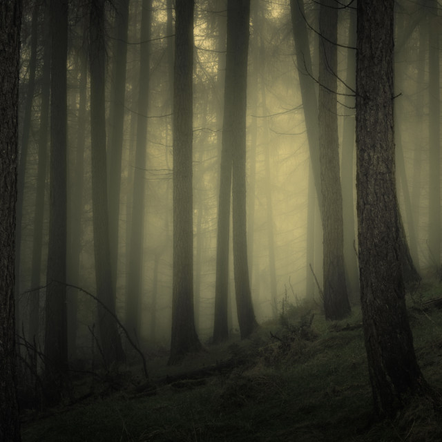 """Larch woodland in the mist"" stock image"