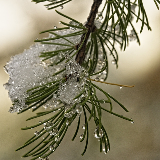 """Frozen Larches"" stock image"