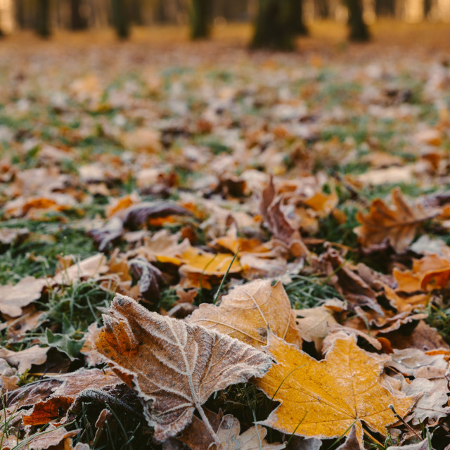 """""""sunrise in the park and fog, the beginning of winter, close up on frozen leaf"""" stock image"""