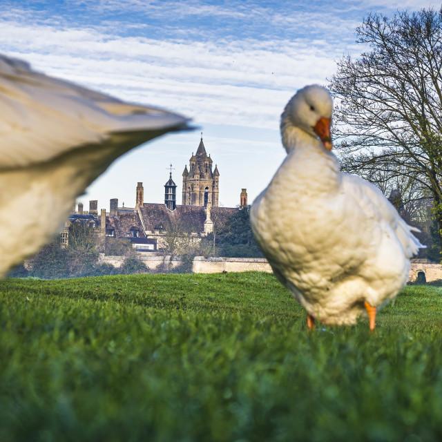 """Geese from Fen Causeway, Cambridge UK."" stock image"