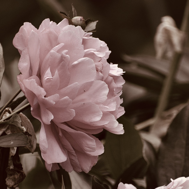 """Peony Rose"" stock image"