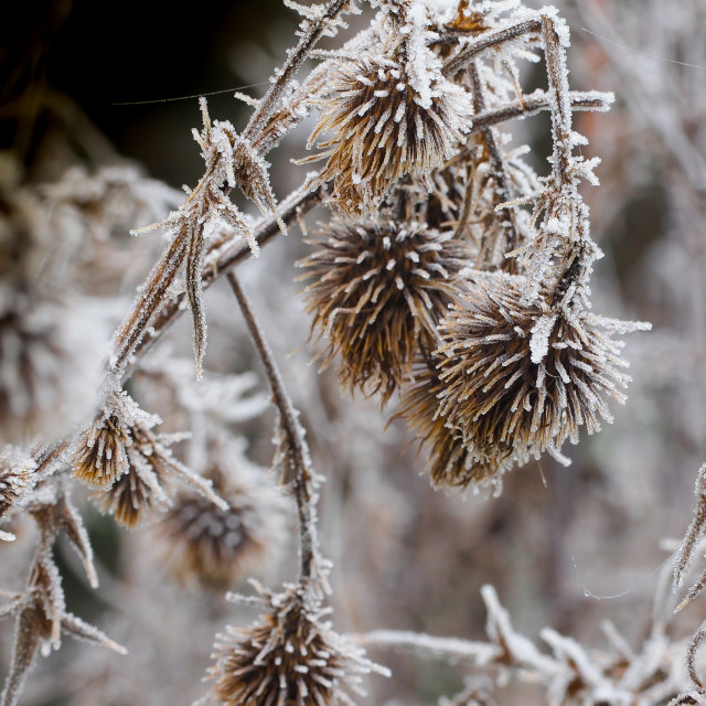 """""""Frosty Morning Seed Heads"""" stock image"""