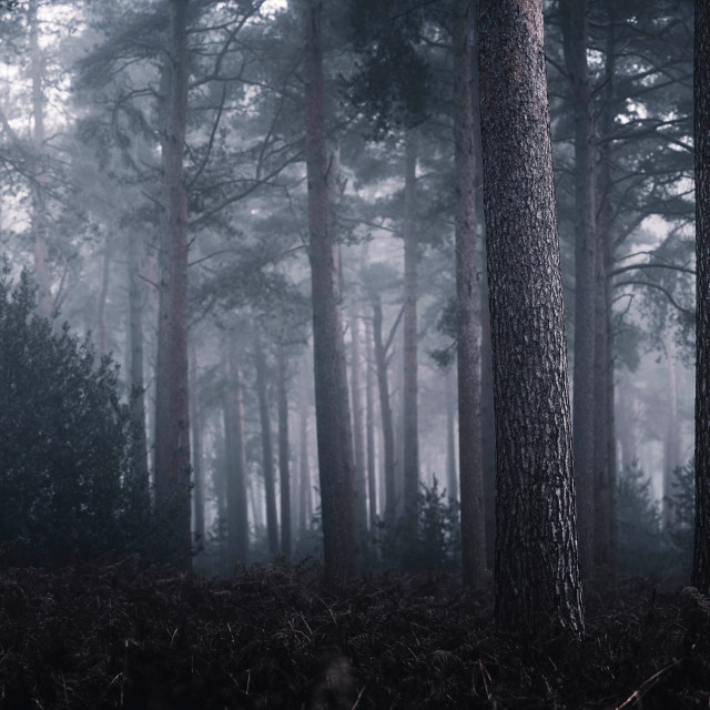 """""""A foggy Thetford Forest Panorama. High Lodge, Thetford, Suffolk."""" stock image"""