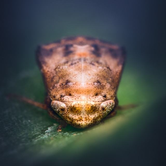 """Closeup of a Leafhopper Nymph"" stock image"