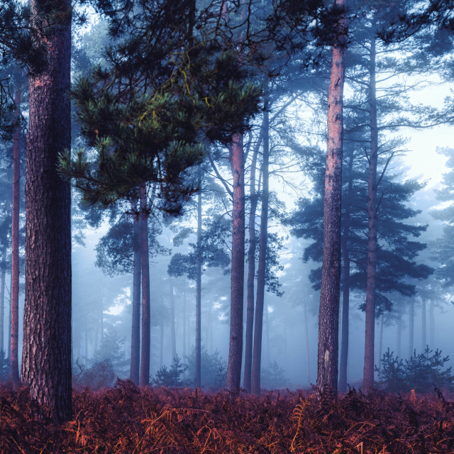 """""""A foggy Thetford Forest Panorama, High Lodge, Thetford, Suffolk."""" stock image"""