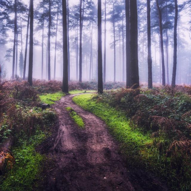 """A foggy Thetford Forest, High Lodge, Brandon UK."" stock image"