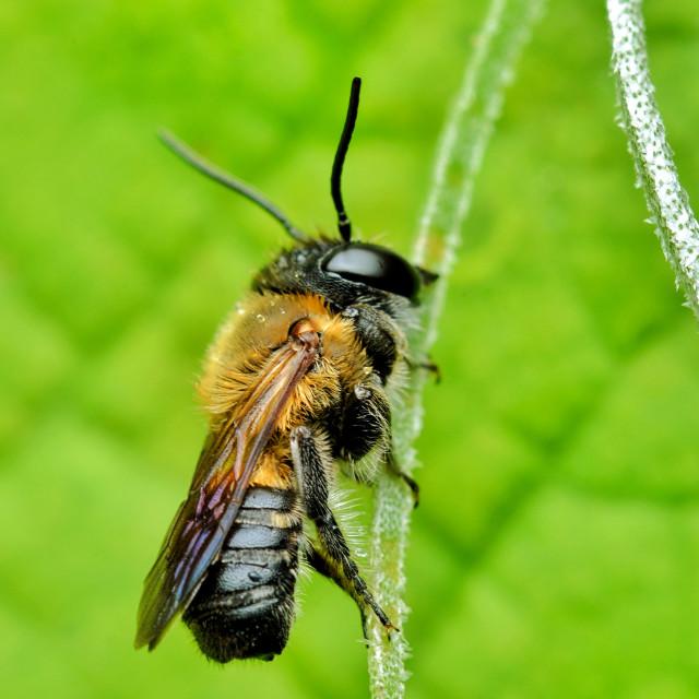 """Cuckoo Bee"" stock image"