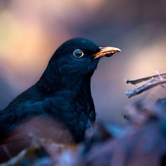 """The common blackbird"" stock image"