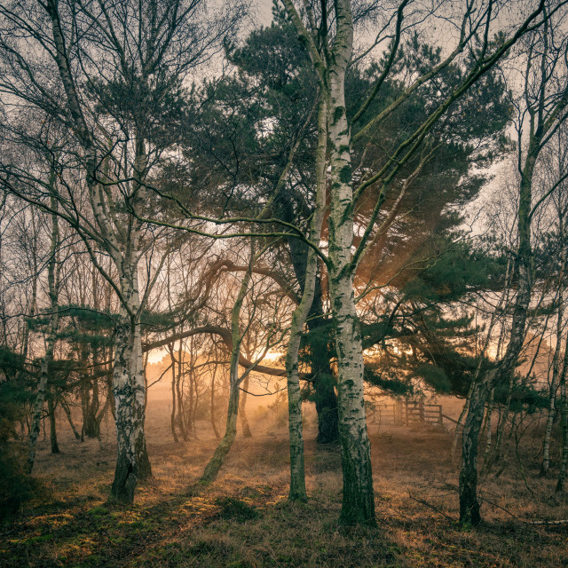 """Sunlight Through Trees at Strensall Common"" stock image"