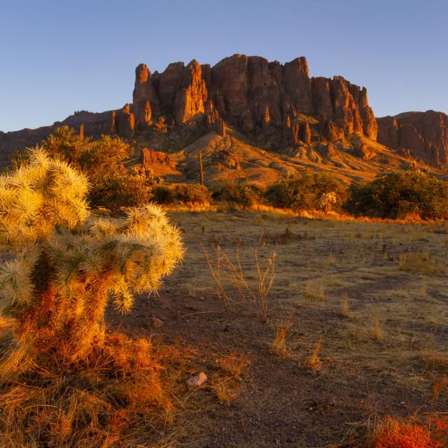 """Cholla cactus at sunset"" stock image"