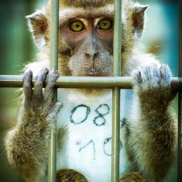 """Primaten im Tierversuch (Archivbild)"" stock image"