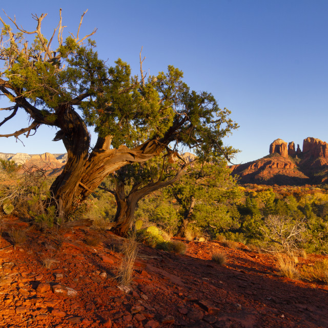 """""""Tree at sunset with Cathedral Rock in the background"""" stock image"""